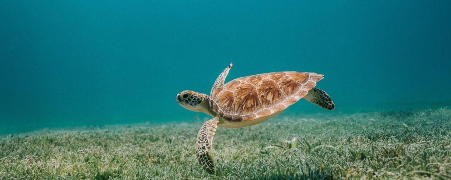 schildpadden indonesie